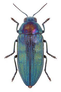 Buprestis rustica Linnaeus, 1758 ♀