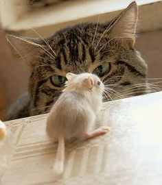Cat staring down a gerbil, but these little guys will stand their ground. I love watching my two little guys at play..