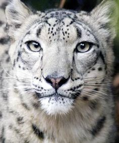 Snow Leopard Day is Saturday at Woodland Park Zoo.