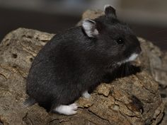 Russian Dwarf Hamster/Campbell Hamster Colors