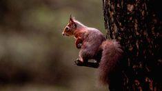 O Rei Esquilo escondeu a Bolota Dourada algures num terreno e há três servos ansiosos para a encontrar. Agora que os esquilos já voltaram a viver em Portugal, consegue ajudá-los a encontrar o tesouro? http://observador.pt/2018/01/02/teste-consegue-ajudar-estes-esquilos-a-encontrar-uma-bolota/