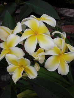 MAUI SUN 8-12 INCH CUTS Fragrent Easy To Grow Sale** PLUMERIA CUTTING-name