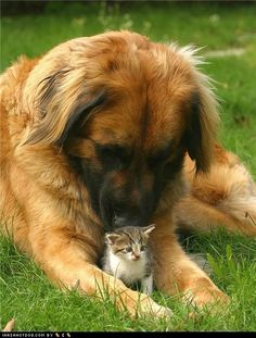 leonberger protecting kitten...how can you not love?