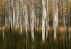 silver birtch trees