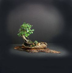 "Green Island Fig Bonsai Tree, Summer'17 ""Natures Play"" Collection by LiveBonsaiTree"" by LiveBonsaiTree on Etsy"