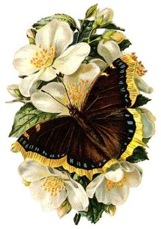 beautiful butterfly on white flowers