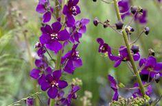 Verbascum phoeniceum 'Violetta' | /RHS Gardening