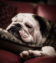 Bulldog. Someday...