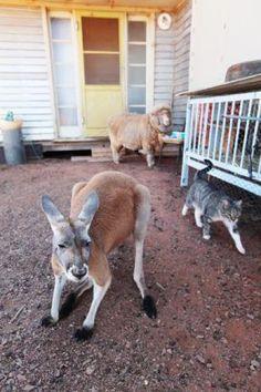 kangaroo, cat, sheep