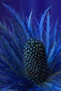 Sea Holly (Eryngium) I love this but have had no luck with it in my garden,