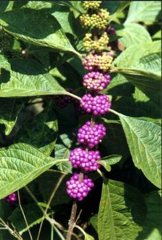 Three different natural insect repellents in American beautyberry AKA Callicarpa americana repel biting insects like mosquitoes, ticks and horseflies.