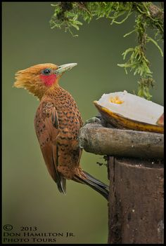 Chestnut-coloured Woodpecker (Celeus castaneus)