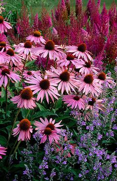 Echinacea thrives in clay soil. Grows to 2 to 5 ft tall in full sun to part shade, Zones 3-8. Piet oudolf planting at Dreampark, Enkoping, Sweden: Echinacea purpurea 'magnus', scutellaria incana, astilbe chinensis var taquetii 'purpurlanze'. By Clive Nichols.