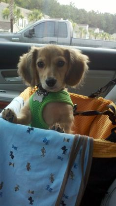 Dachshund Lovers! I own two wire coat Dachshunds and I love to see cute photos of this breed.
