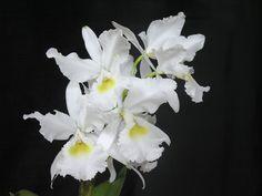 "Cattleya warscewiczii alba ""Sua Mena"""