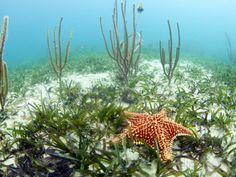 Jardines De La Reina, Cuba: Starfish in Seagrass. Photographic Print by Ian Shive at AllPosters.com