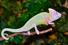 Albino Chameleon Baby Chameleon, Veiled Chameleon, Chameleon Care, Karma Chameleon, Cute Lizard, Cute Gecko, Cute Reptiles, Reptiles And Amphibians, Animals And Pets