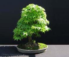 Acer palmatum/ Mountain Maple bonsai