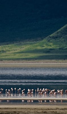 Flamingoes in the Ngorongoro Crater #wildlife #africa