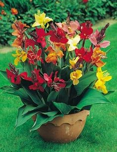 Tropical Canna Lily Color Mix - 10 Seeds The Canna Mixed Color produces beautiful mixed colored flowers. The flowers are displayed amid broad green leaves. Cannas make great borders and bedding plants. Their vibrant colors and attractive foliage will demand attention where ever they are planted. Try a potted Canna for your deck or patio to add color and elegance. Few flowers are so dramatic and long blooming. Canna lily are fantastic drought tolerant plants. Prefers a full sun position.