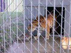 Tony the Siberian tiger has been locked in a cage at a roadside truck stop for 13 years. He has suffered physically and mentally and deserves a chance at a better life. Demand authorities rescue Tony the tiger.