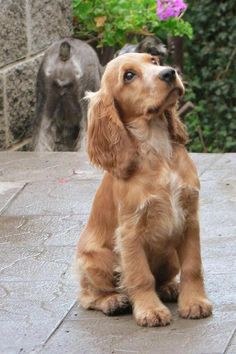 A list of the cutest golden cocker spaniel pictures. Are you in the mood to see some adorable photos of cocker spaniels? This is a list of some of the cutest golden cocker spaniel photos. Cute Dogs And Puppies, Baby Dogs, Pet Dogs, Pets, Puppies Puppies, Doggies, Chihuahua Dogs, Weiner Dogs, Perro Cocker Spaniel