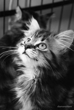Kitten looking up by diamonddove. Available for purchase at Red Bubble. #blackandwhite #cat #tabby #kitten #redbubble