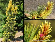 Conifer Kingdom offers the largest selection of Japanese Maples, Dwarf Conifers, Dwarf Spruces, Japanese Pines, & More! Flexible shipping options available!