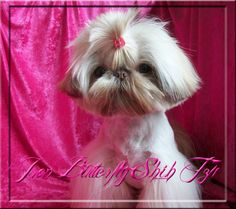 Iron Butterfly Chinese Imperial Shih Tzu Tiny Teacup Puppies For Sale Quality Small Breeder