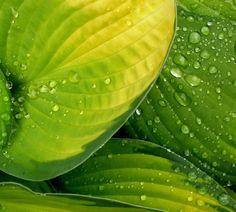 Hostas and rain