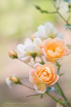 Peach Roses at Deepwood Estate Greengate Images Salem Beautiful Flower Quotes, Beautiful Flowers Wallpapers, Beautiful Roses, Happy Flowers, Pretty Flowers, Flower Pictures, Garden Pictures, Flower Wallpaper, Spring Flowers
