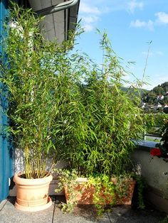 Bambus und Pflanzenshop Specialist in bamboo, grass and many other garden plants. Roof plants and gr Roof Plants, Balcony Plants, Patio Plants, Garden Plants, Garden Terrarium, Bamboo Trellis, Bamboo Plants, Bamboo Grass, Pergola Diy
