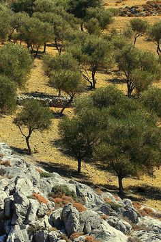 Rocks and olive grove Astypalea Island, Dodecanese islands, Greece (1) From: FlickR, please visit