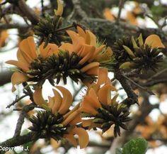 Erythrina caffra (creme)
