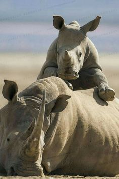 White Rhinoceros calf climbing on mother's back on Lake Nakuru shore, Kenya Animals And Pets, Baby Animals, Funny Animals, Cute Animals, Wild Animals, Beautiful Creatures, Animals Beautiful, Mon Zoo, Save The Rhino