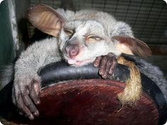 The greater galagos or thick-tailed bushbabies are the common name for three species of strepsirrhine primates. They are classified in the genus Otolemur in the family Galagidae.