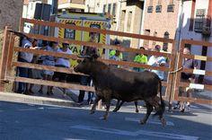 Santacara: Vacas de Vicente Domínguez - Año 2016 (7)