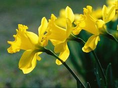 Daffodils are originally from Europe, as well as the Mediterranean areas and North Africa. They typically bloom in spring, although some. Iris Flower Photos, Iris Flowers, Yellow Flowers, Beautiful Flowers Pictures, Flower Pictures, Catastrophic Thinking, State Of Colorado, Daffodil Flower, Victory Garden