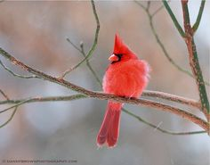 25 Beautiful Red Cardinals Birds Pictures | North American Species |Web Design Riches