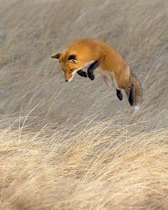 Fox in Flight by Bob Malbon