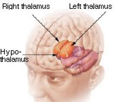 What Are the Functions of the Thalamus?: Thalamus