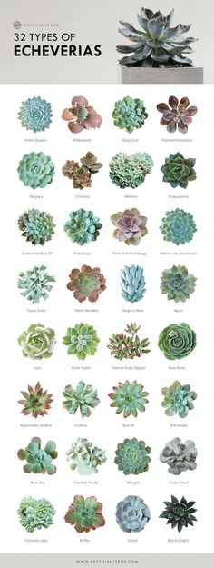 32 types of echeveria - Garden Types Echeveria, Crassula Succulent, Succulent Gardening, Cacti And Succulents, Planting Succulents, Planting Flowers, Succulent Species, Succulent Terrarium, Succulent Outdoor