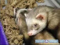 How to Care For a Ferret : Pet Ferret Bathing & Flea Prevention