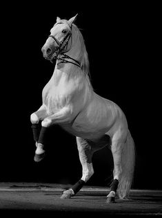 """Lipizzans - the breed was saved during WWII by General Patton / Walt Disney made a movie depicting General Patton's Rescue of these Beautiful Horses called """"Miracle of the White Stallions""""! Most Beautiful Horses, All The Pretty Horses, Animals Beautiful, Cute Animals, Beautiful Gorgeous, Lippizaner, Lipizzan, Majestic Horse, White Horses"""