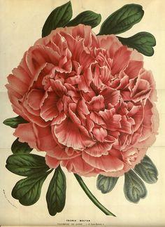 Peony taken from Flore des serres et des jardins de l'Europe (1861). Louis van Houtte (1810–1876)