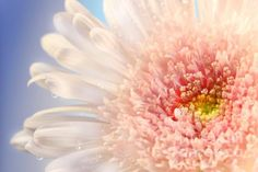 Pink Daisy Photograph by Sandra Cunningham - Pink Daisy Fine Art Prints and Posters for Sale