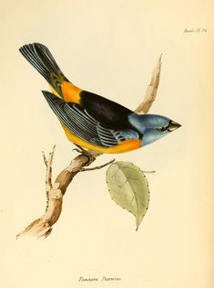 The Blue-and-yellow Tanager (Pipraeidea bonariensis) - from HMS Beagle expedition by Elizabeth Gould