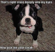 boston terrier :)