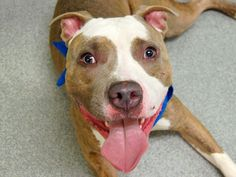 TO BE DESTROYED 10/30/14 Manhattan Center -P  My name is JACOB. My Animal ID # is A1017692. I am a male br brindle and white pit bull mix. The shelter thinks I am about 3 YEARS old.  I came in the shelter as a STRAY on 10/16/2014 from NY 10452, owner surrender reason stated was STRAY.