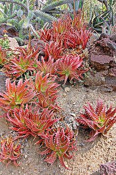 Red Aloe Succulent Plants Cluster by Stockshooter, via Dreamstime